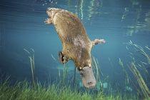 Platypus {Ornithorhynchus anatinus} swimming underwater Tasmania, Australia. Commposite.